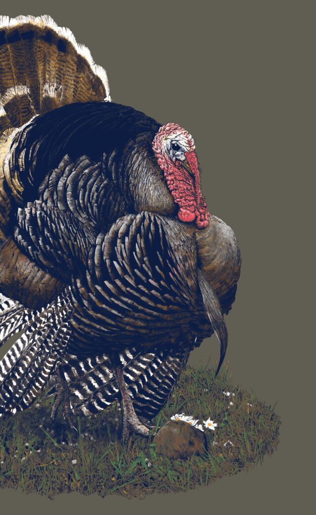 Detailed illustration of an American turkey